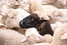 Sheep of La transhumancia
